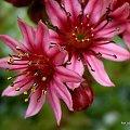 dla Basi - Jovanki1 ... #kwiaty #rozchodniki #ogród #życzenia #imieniny