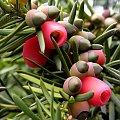 Owocki cisa - z dedykacją dla Nieznajomej32, z racji ich czerwonej barwy :) #owoce #drzewa