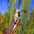 W pelnej zbroi #makro #owad #natura #przyroda #macro #insect #nature #pasikonik #konik #polny #grasshopper