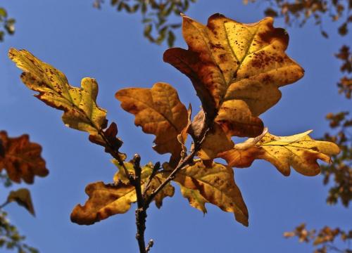 Jesień w moim ogródku. Liście dębu posadzonego przeze mnie przypadkiem w dzieciństwie podczas zabawy żołędziami w piaskownicy :) #liście #dąb