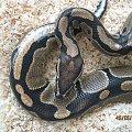 Pyton królewski /Python regius/. #Wąż