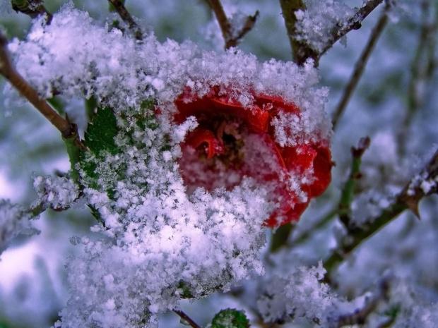Moja ogrodowa różyczka w puchowej kołderce :) #róża #zima