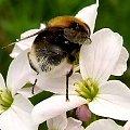 na łące i kwiatku ,... Trzmiel ziemny (Bombus terrestris)